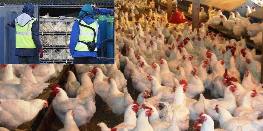 Macaristan'da kuş gribi nedeniyle 100 binden fazla tavuk itlaf edildi