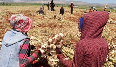 Gaziantep'te tarım işçileri bayramda da çalışıyor