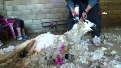 Erzurum'da yerli koyun yünü hamlesi