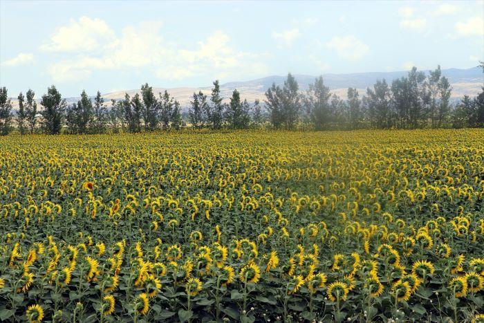 Tarımsal kuraklık Amasya'da ürün ekimini değiştirdi