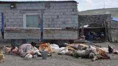 Kars'ta 35 büyükbaş hayvan telef oldu
